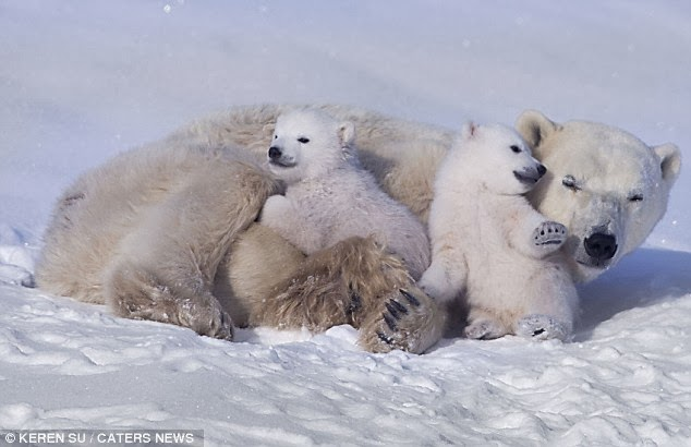 White Wolf : Adorable polar bear cubs show how much they love ...